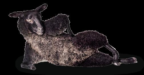 Овца TELE2